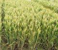 小麦良种山农29