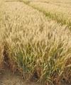 小麦良种山东25