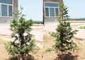 东北红豆杉苗