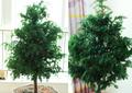 40年东北红豆杉